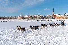 Dogsled in Luleå